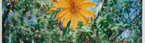 Blooming Sunflowers Festival // Festival du tournesol